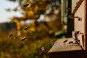 miód, pszczoły, zdrowie