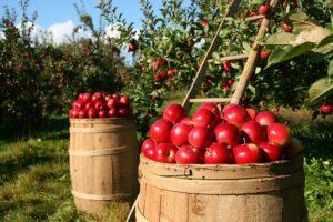 jabłka, dieta, zdrowie